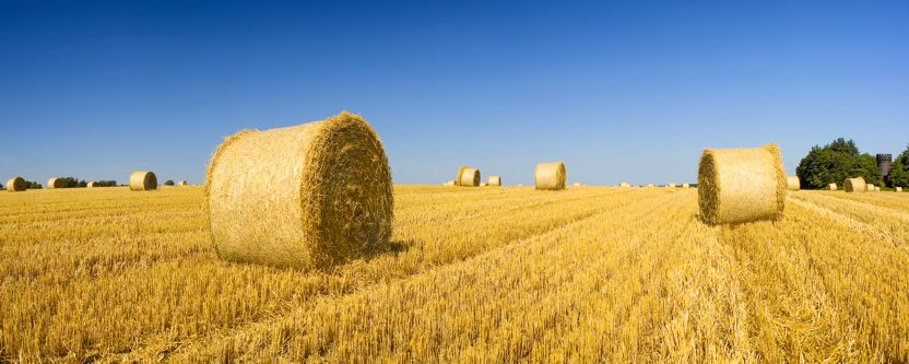 Golden hay bales on a clear summers day.